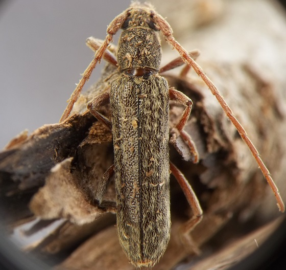 Cerambycidae from recently dead black walnut - Anelaphus parallelus