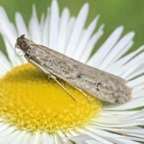 Sunflower Moth - Phycitodes reliquellum