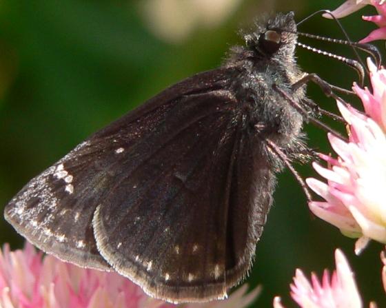 Wild Indigo Duskywing - Erynnis baptisiae - female