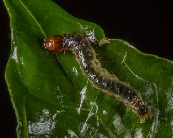 Desmia ploralis larva - Desmia ploralis