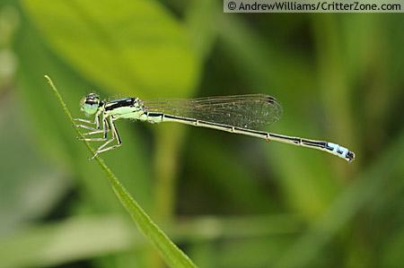 Eastern Forktail Damselfly - Ischnura verticalis - male