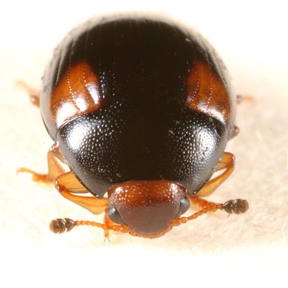 fungus beetle - Tritoma humeralis