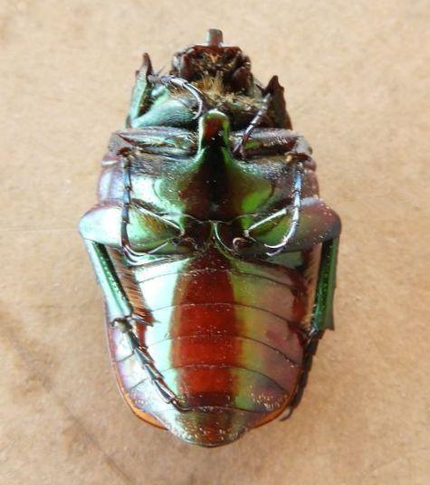 Arizona Beetle  - Cotinis mutabilis
