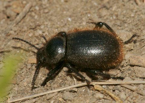 Woolly Darkling Beetle? - Eleodes osculans