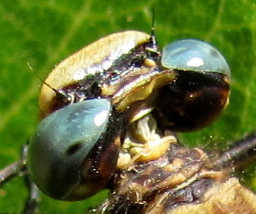 Anisoptera, Gomphus; Female - Phanogomphus spicatus - female