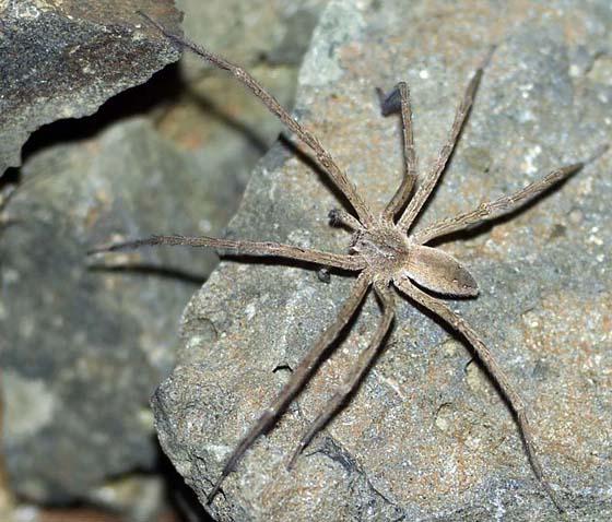 Nursery Web Spider - Pisaurina mira - male