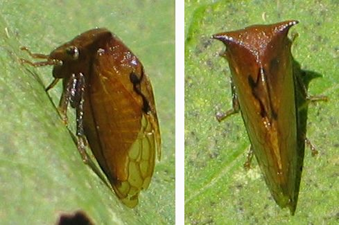 black-marked treehopper - Stictocephala basalis