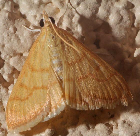 Yellow Moth - Neohelvibotys arizonensis
