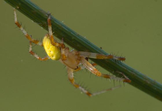 Araniella? - Araneus trifolium
