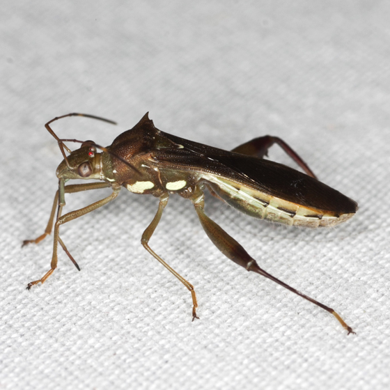 Texas Bow-legged Bug - Hyalymenus tarsatus