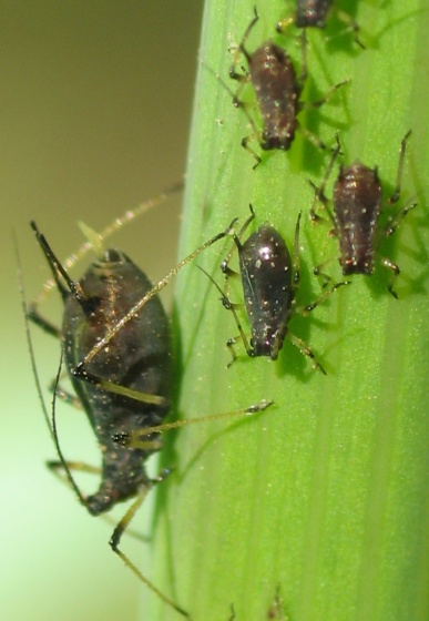 Sow-Thistle Aphids - Uroleucon sonchi