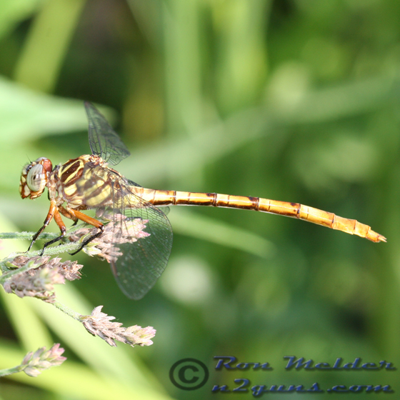 Broad-striped Forceptail - Aphylla angustifolia - female