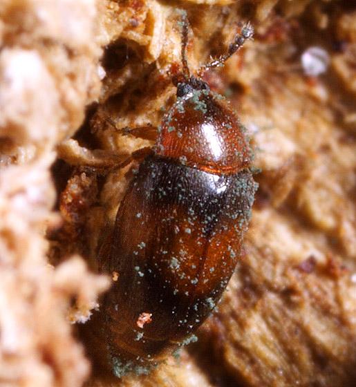 Beetle ID - Arthrolips fasciata