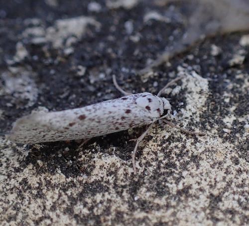 moth - Lactura subfervens