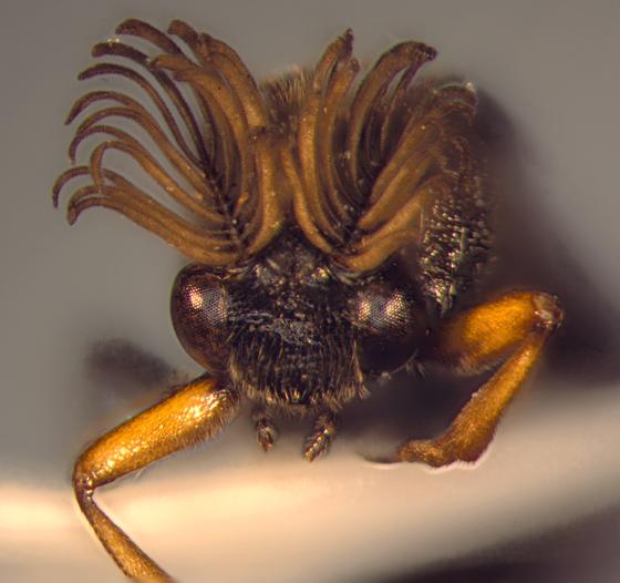 Ripiphoridae, head - Ripiphorus - male