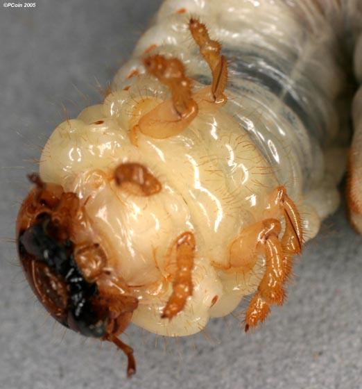 Stag Beetle Larva - Lucanus