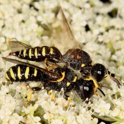 wasp - Lestica