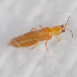 Tiny Yellow Bug - Extremely Itchy - BugGuide Net