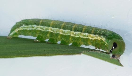 caterpillar - May 30 - Loscopia velata