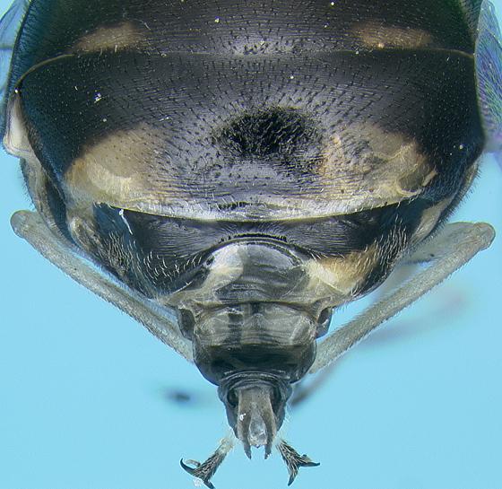 Acrocerid - Acrocera bimaculata - female