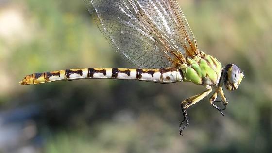 Erpetogomphus designatus - female