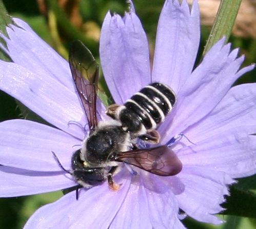 Megachile ID Request - Megachile pugnata - female