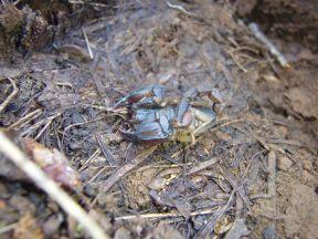 Unknown Scorpion - Uroctonus mordax