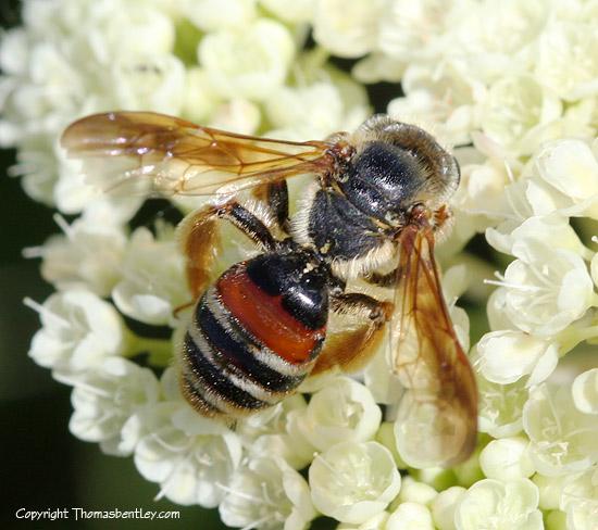 Bee - Andrena prunorum - female