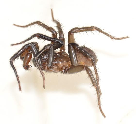 Spider - Antrodiaetus unicolor - male