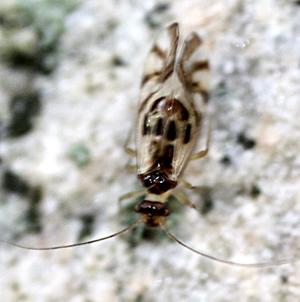 Barklouse - Graphopsocus cruciatus