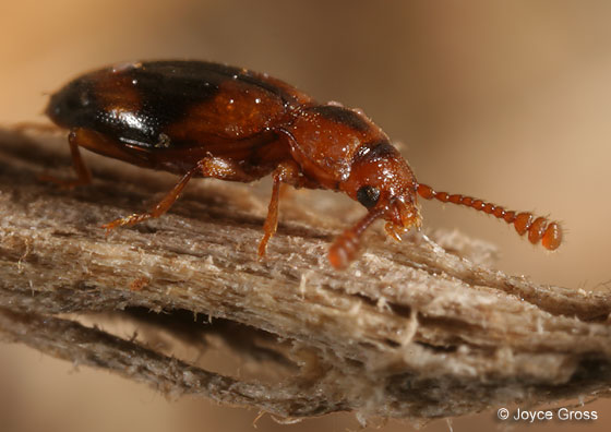 Endomychid ? - Phymaphora californica - female
