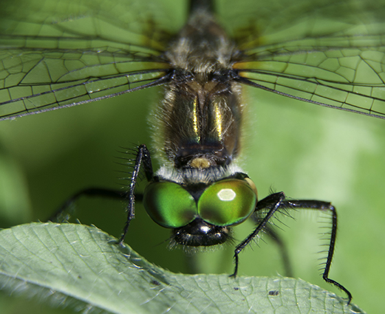 Which green-eyed Dragon? - Dorocordulia libera - female