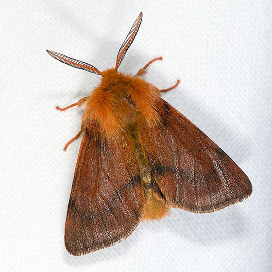 Brown Tiger Moth - Spilosoma pteridis - male