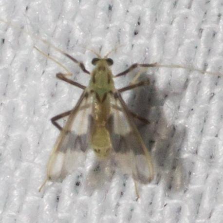 Band-winged midge - Stenochironomus - female