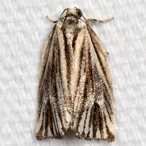 Striated Tortrix Moth - Hodges#3664 - Archips strianus