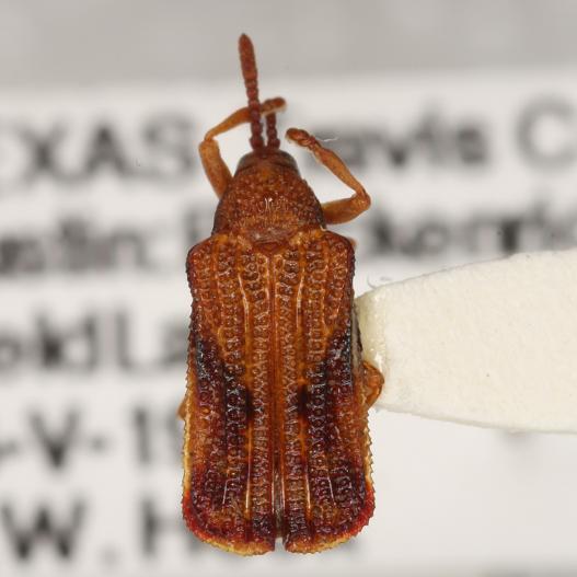 Baliosus nervosus (Panzer) - Baliosus nervosus