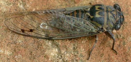 Tibicen texanus Metcalf - Hadoa texana