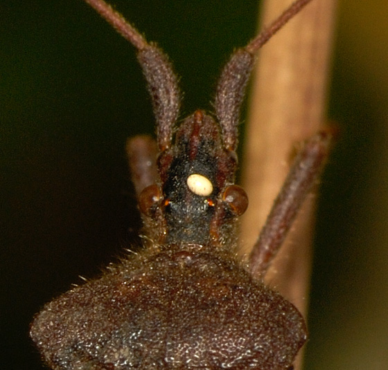 Egghead - Leptoglossus