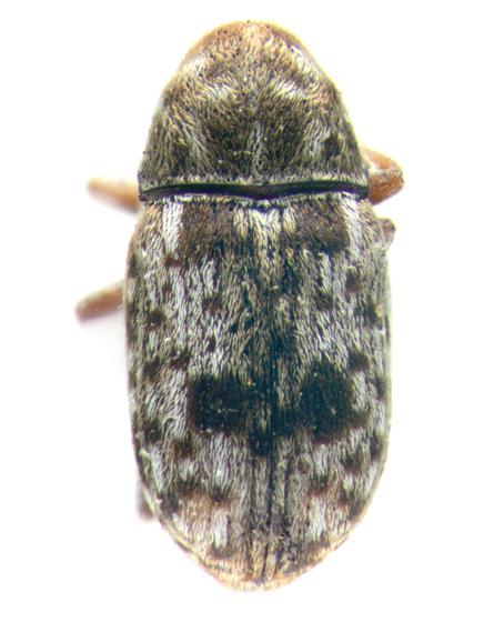 Anthribidae, dorsal - Trigonorhinus sticticus