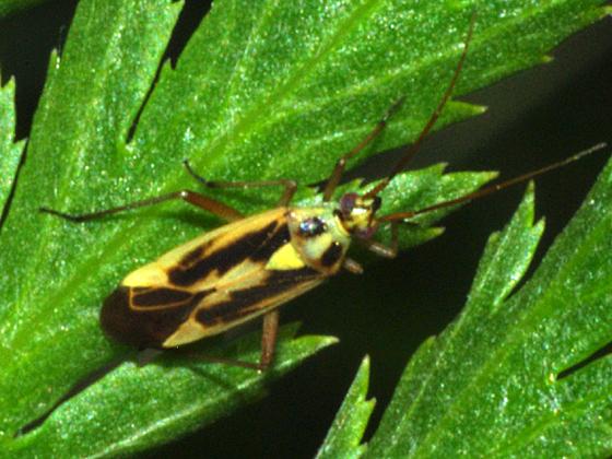 Plant Bug - Stenotus binotatus