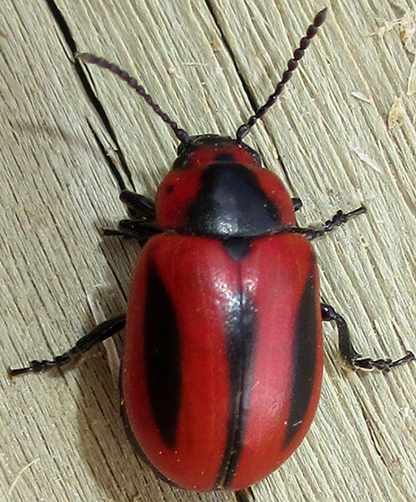 Black on Red  - Entomoscelis americana