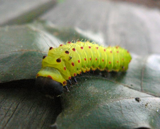 Green Caterpillar - Luna Moth? - Actias luna - BugGuide.Net