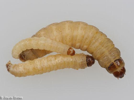 Caterpillars galleria mellonella bugguide net - Larve de mite ...