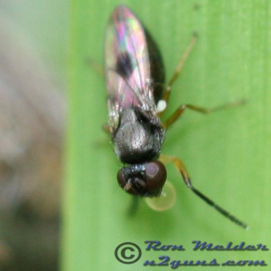 Fly - Leptopsilopa