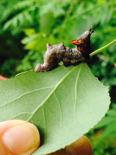 acton caterpillar - Notodonta torva
