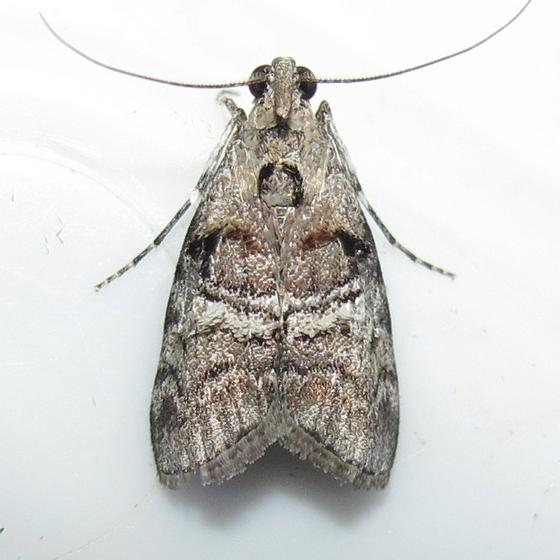 Hodges #5606 - Maple Webworm Moth - Pococera asperatella - male