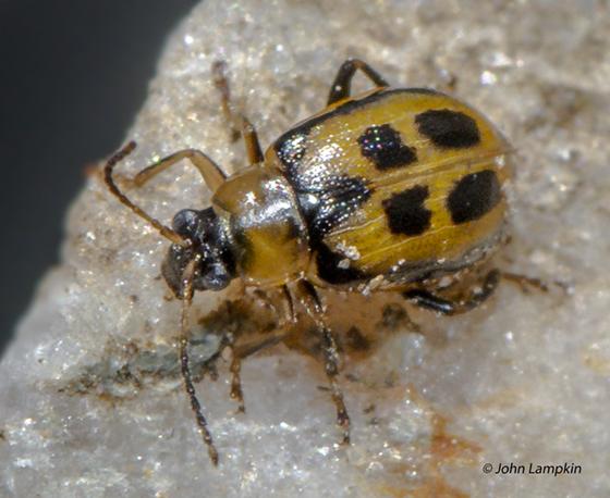 Chrysomelidae ID request - Cerotoma trifurcata