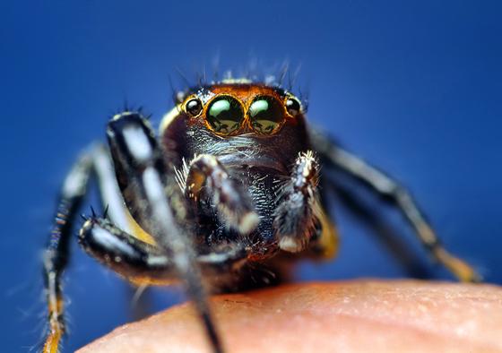 Thiodina Jumping Spider - Colonus puerperus - male