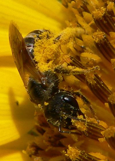 Halictus ligatus - female