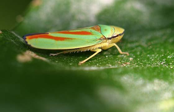 Scarlet & Green Leafhopper - Graphocephala fennahi